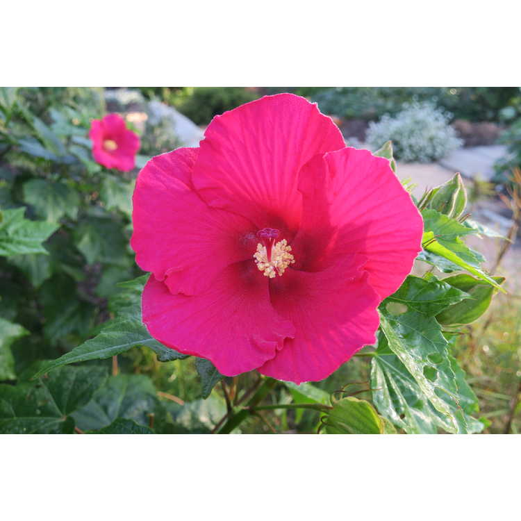 Hibiscus 'Happa Red' - Big Hit hybrid rosemallow