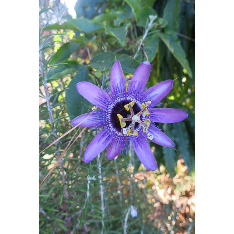Passiflora Monika Fischer