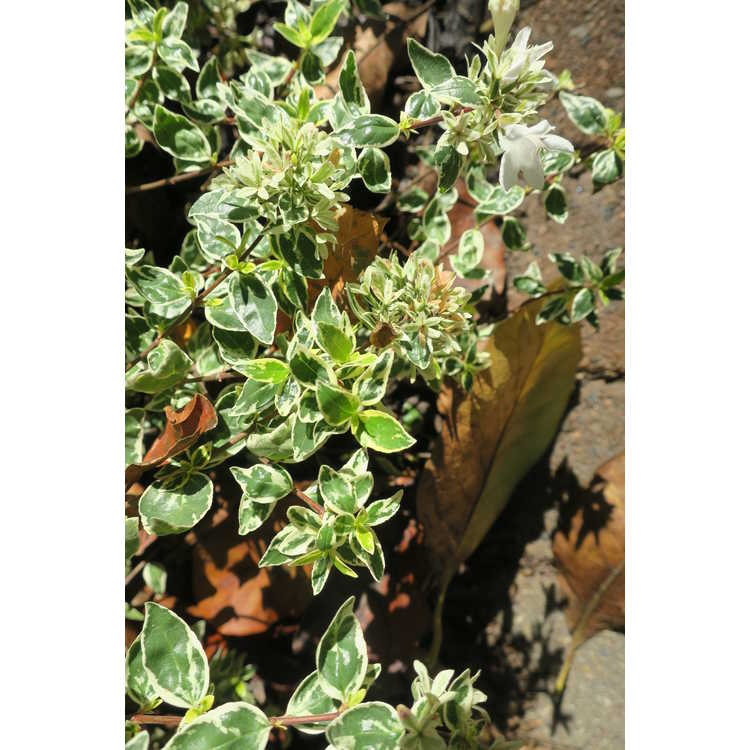 Abelia ×grandiflora 'Wev02'