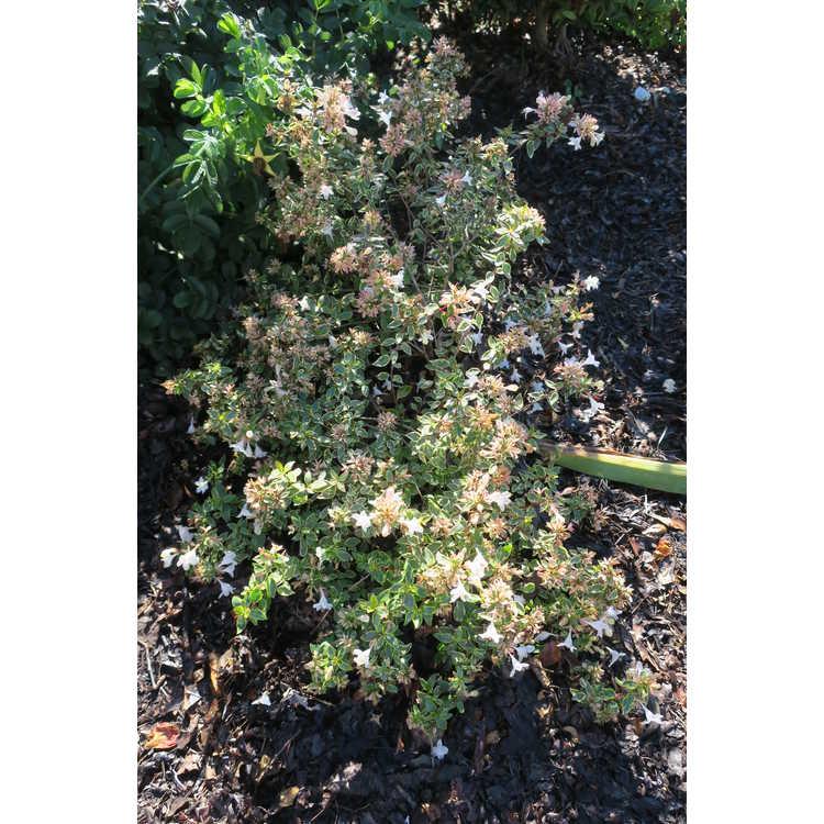 Jc Raulston Arboretum Our Plants Abelia Grandiflora Abelops