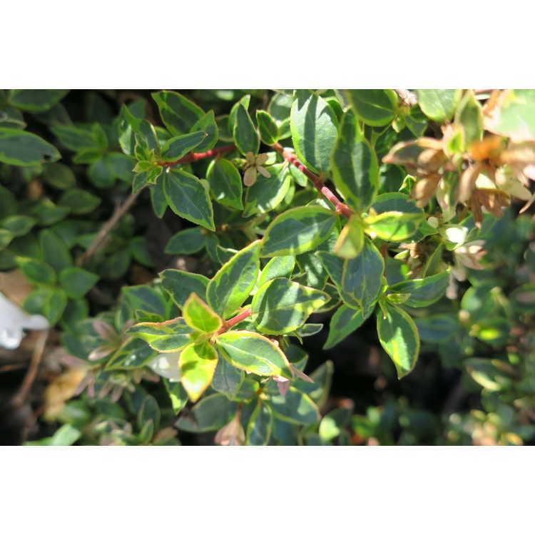 Abelia ×grandiflora 'Abelops' - Sunshine Daydream variegated glossy abelia