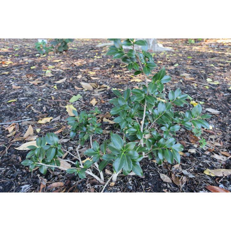 Camellia sasanqua 'Tdn 1116'
