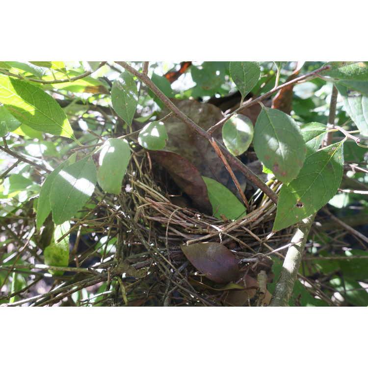 Ilex 'Raritan Chief' - hybrid winterberry holly