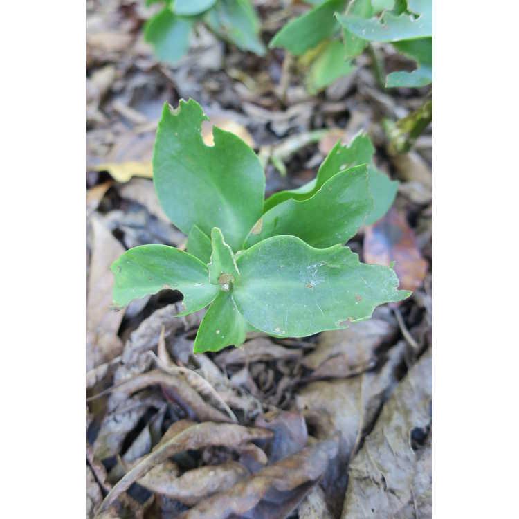 Sedum caucasicum