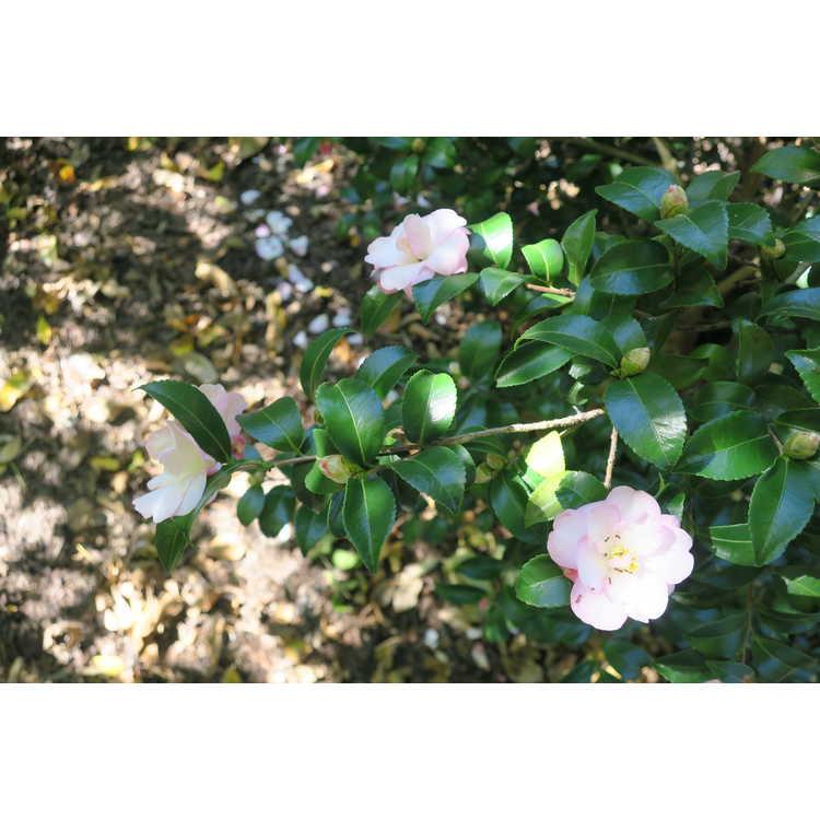 Camellia sasanqua 'Green 94-035' - October Magic Orchid sasanqua camellia