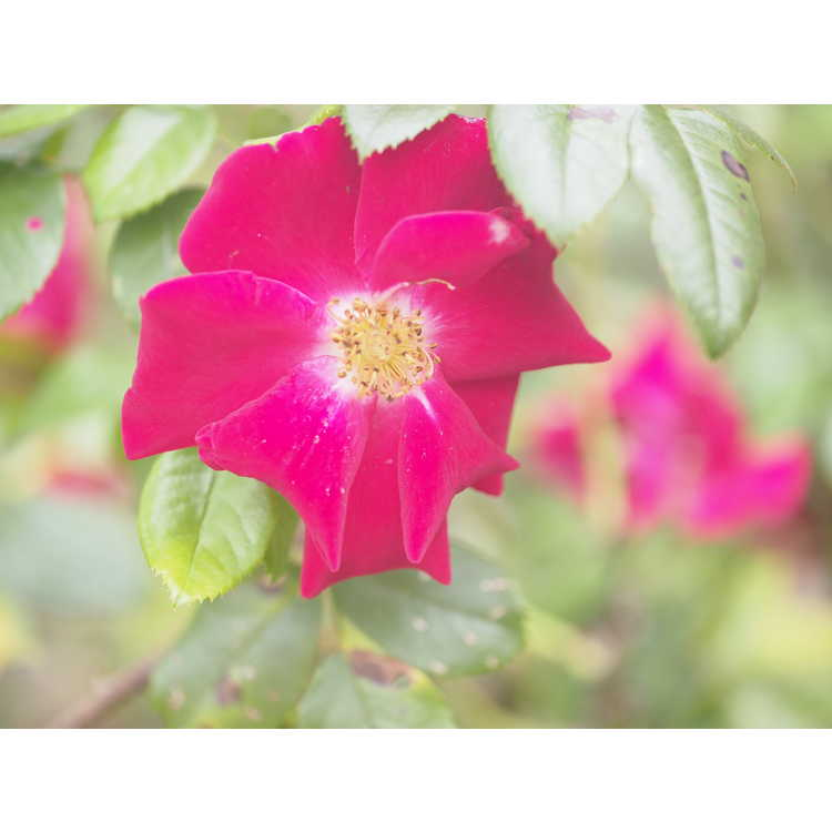 Rosa Sprothrive Thrive