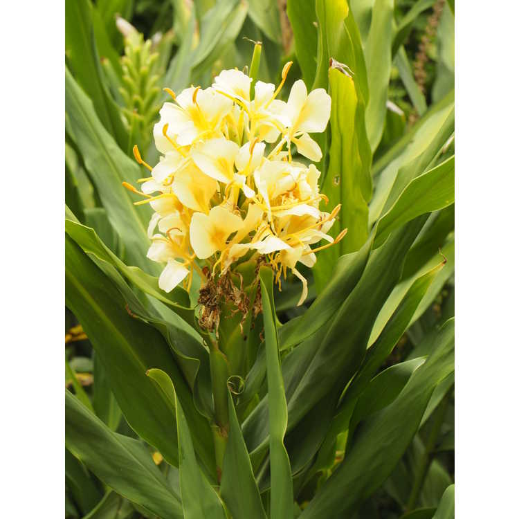 Hedychium 'Daniel Weeks' - hardy ginger-lily