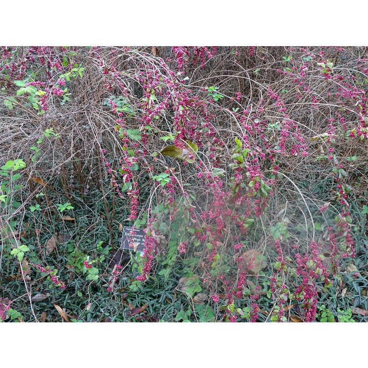 Symphoricarpos ×doorenbosii 'Magic Berry' - Doorenbos coralberry