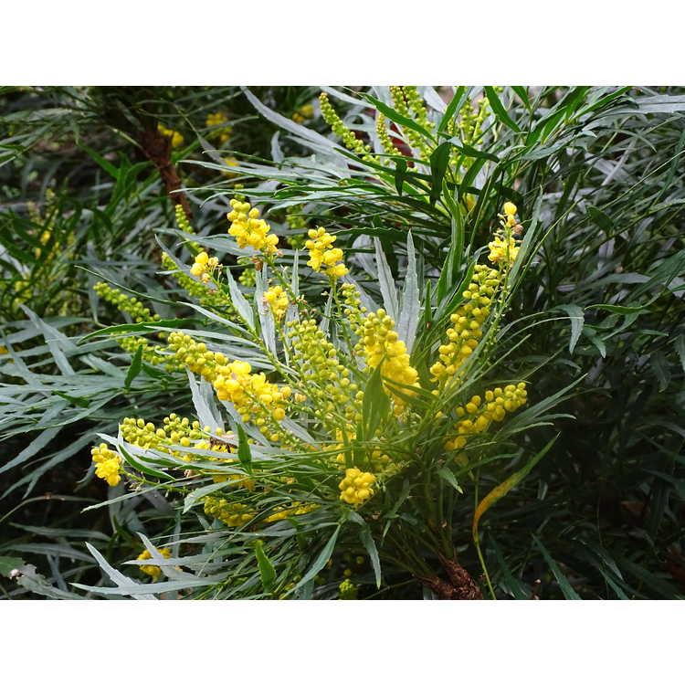 Mahonia eurybracteata subsp. ganpinensis 'Soft Caress' - hybrid grapeholly