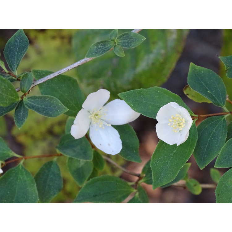Philadelphus californicus 'Marjorie Schmidt' - California mock-orange