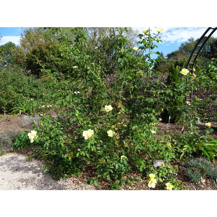 Rosa 'Radsun' - Carefree Sunshine shrub rose