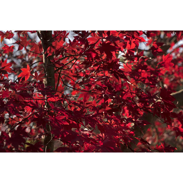 Acer palmatum 'Bloodgood' - purple-leaf Japanese maple