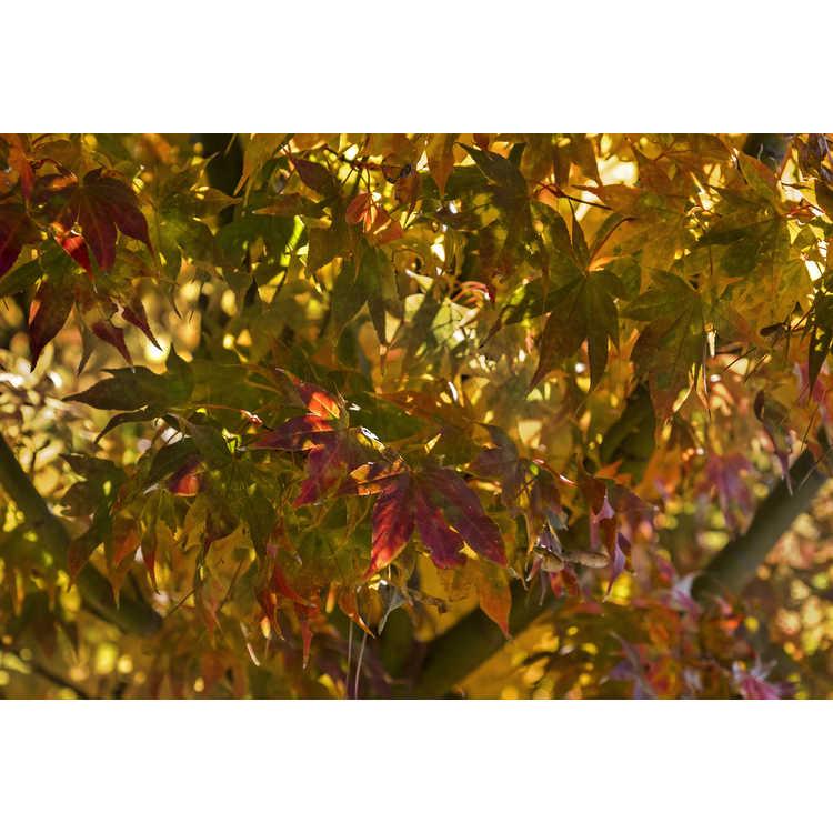 Acer palmatum 'Green Star' - green-leaf Japanese maple