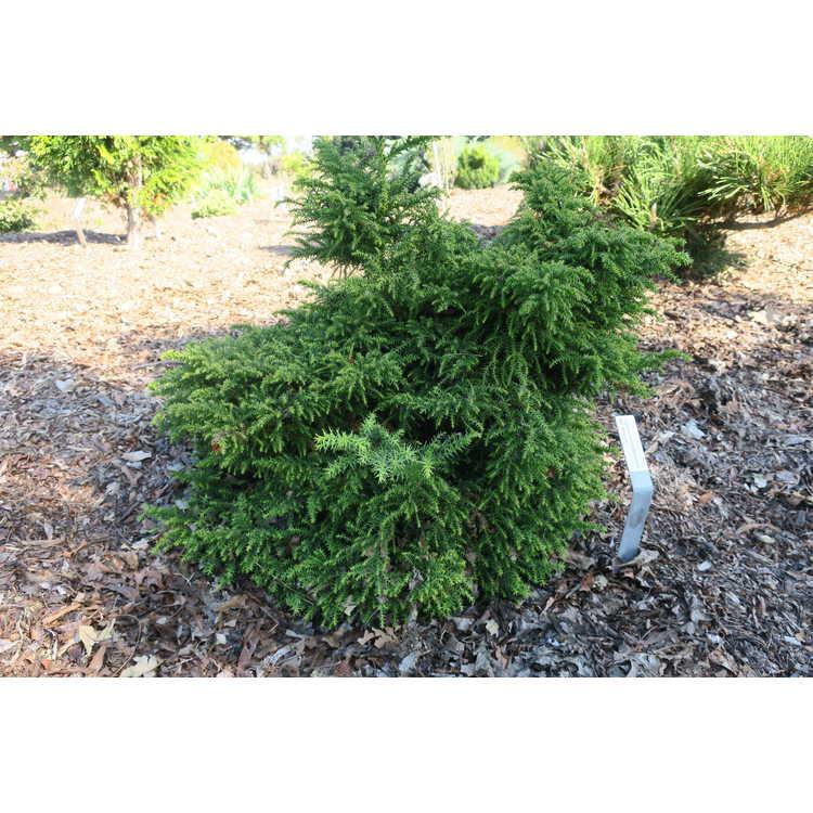 Cryptomeria japonica 'Ed Woods' - Japanese cedar