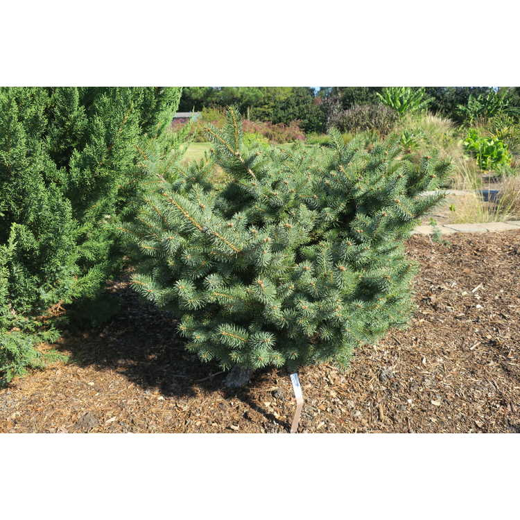 Picea pungens 'Gebelle's'