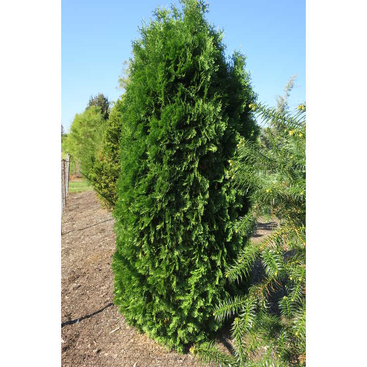 Thuja occidentalis 'Malonyana'