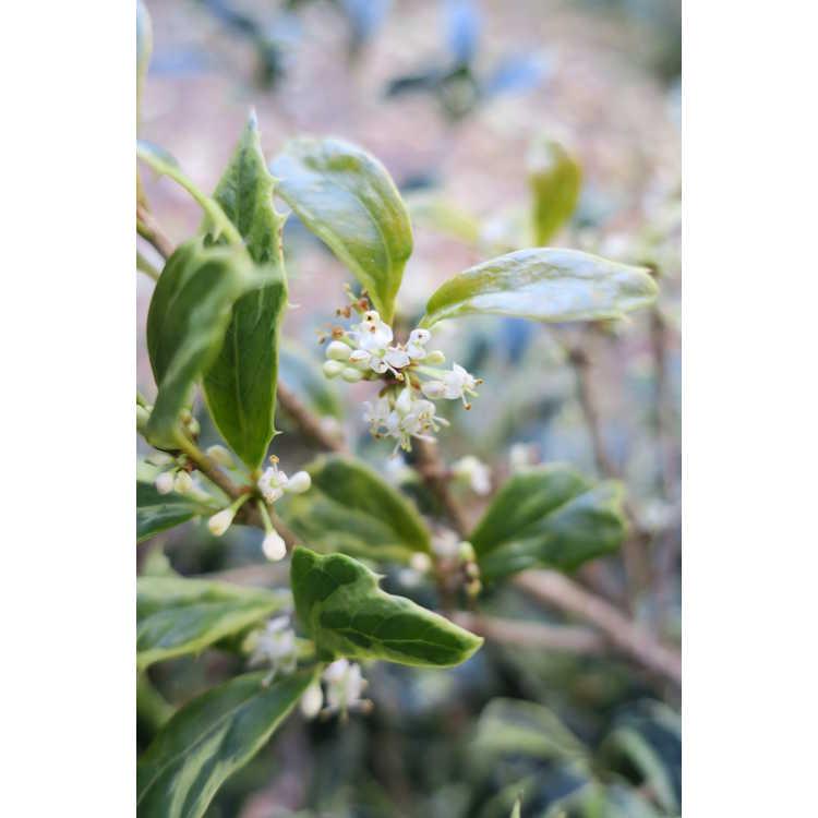 Osmanthus heterophyllus Hamakita Shirofu