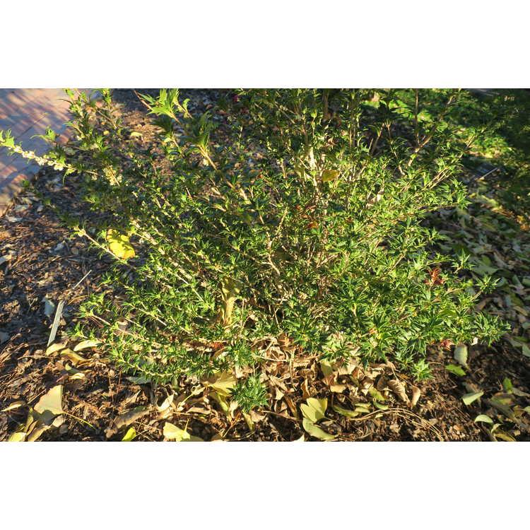 Osmanthus heterophyllus (#2)
