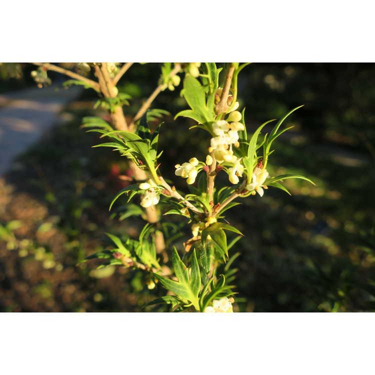 Osmanthus heterophyllus #2