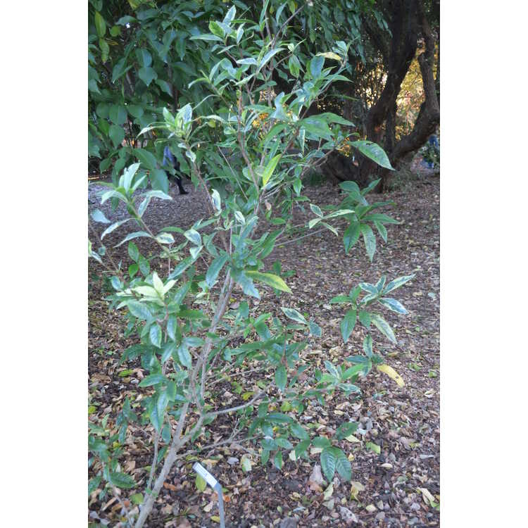 Gardenia jasminoides 'Kaleidoscope'