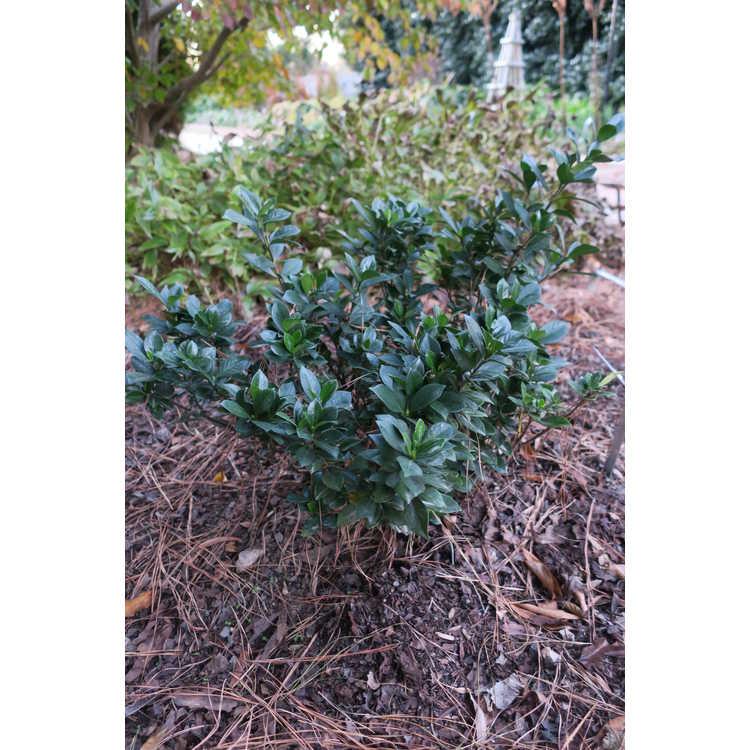 Gardenia 'Prince Charles' - everblooming gardenia