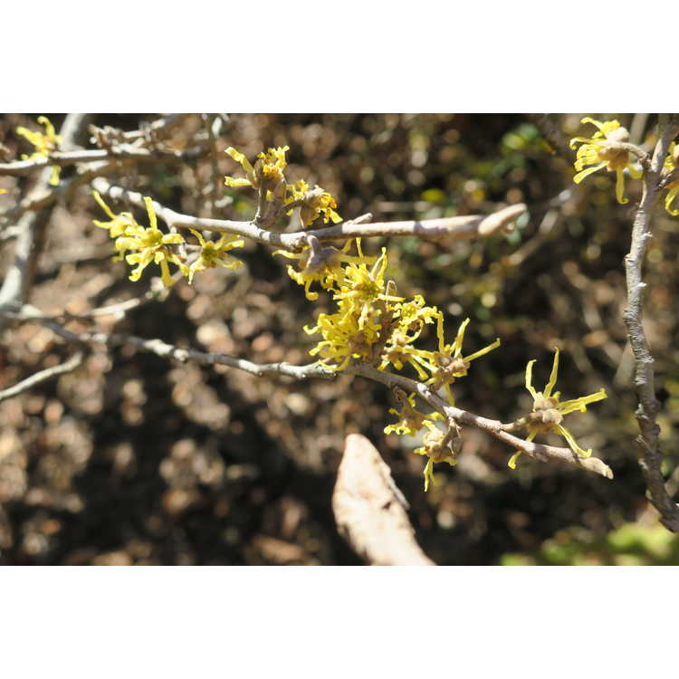 Hamamelis virginiana Green Thumb