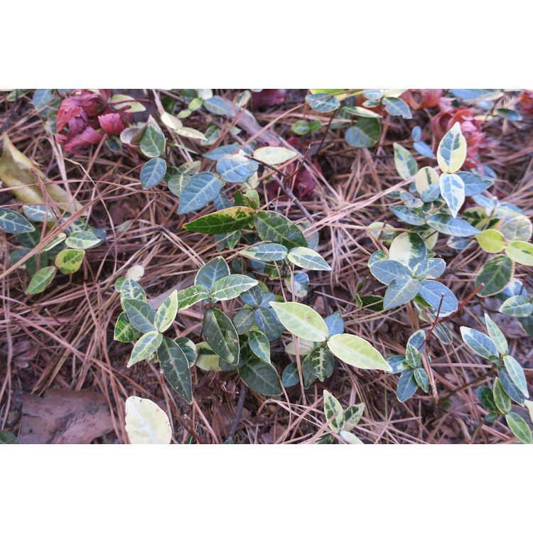 Trachelospermum asiaticum (variegated)