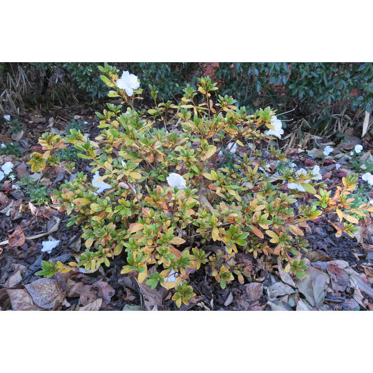 Rhododendron 'Rlh1-15p3' - White Nobility azalea