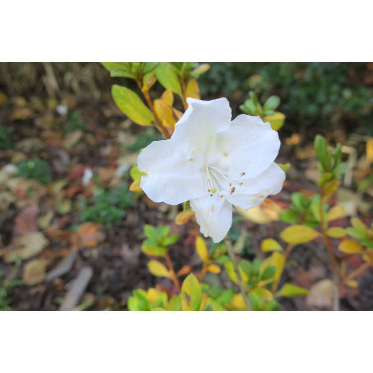 Rhododendron Rlh1-15p3 White Nobility