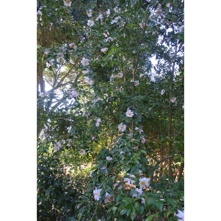 Camellia 'Winter's Dream' - Ackerman hybrid camellia