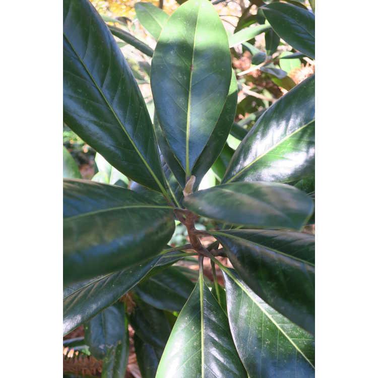Magnolia grandiflora 'Silver Savage'