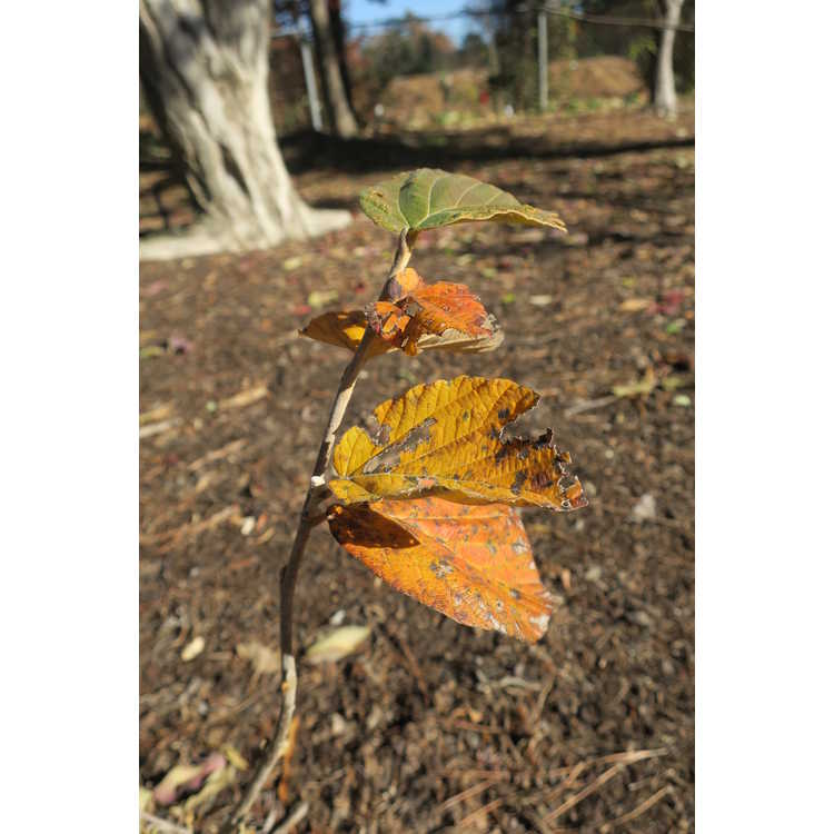 Hamamelis ×intermedia 'Orange Peel'