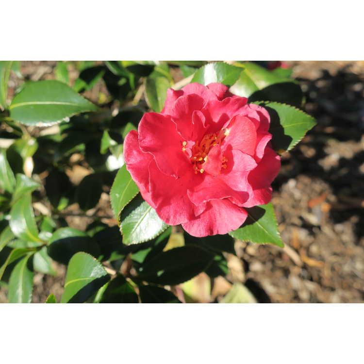 Camellia sasanqua Tdn 1116 Hot Flash