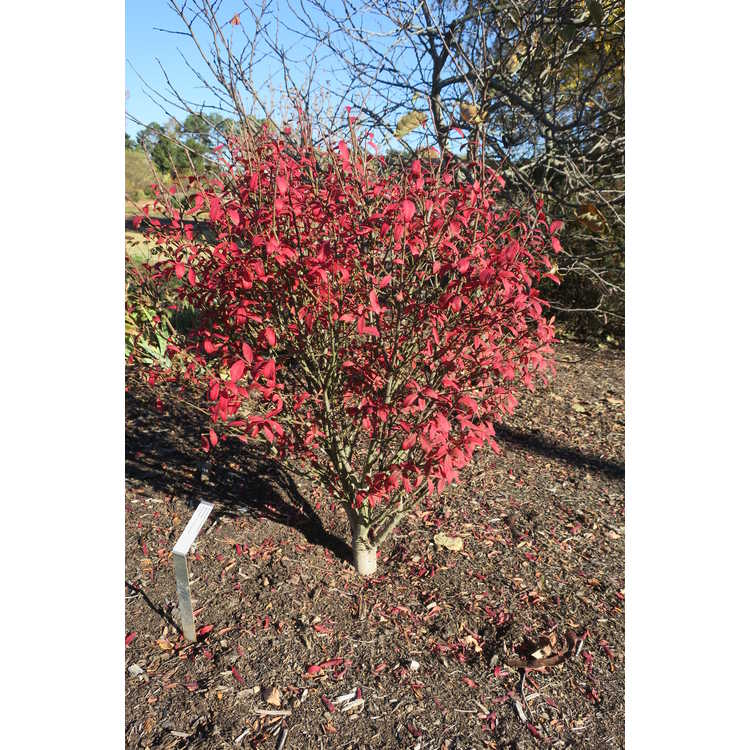 Euonymus alatus 'Michael Hayman' - Unforgettable Fire compact winged euonymus