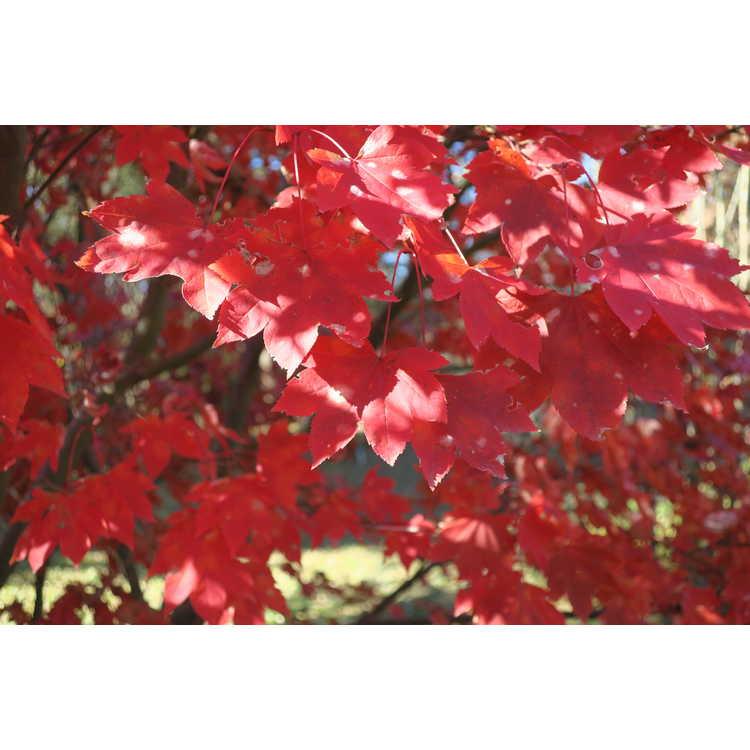 Acer palmatum × A. circinatum