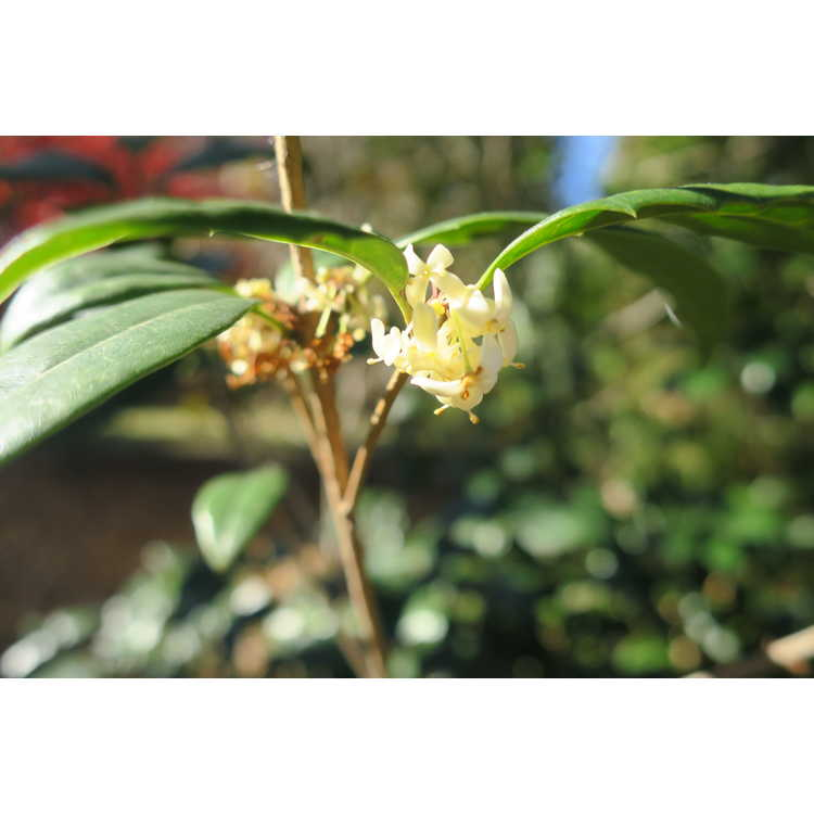 Osmanthus fortunei entire leaf form