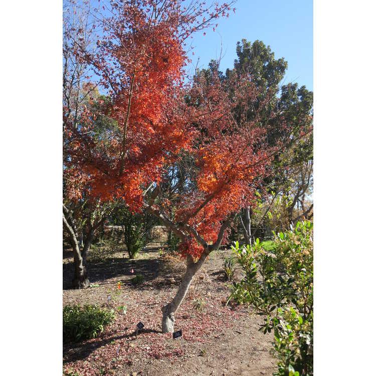 Acer palmatum 'Wabito' - variable-leaf Japanese maple