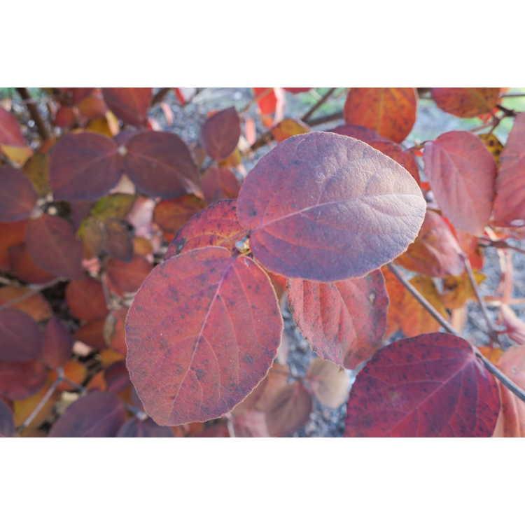 Viburnum carlesii 'Spiro'