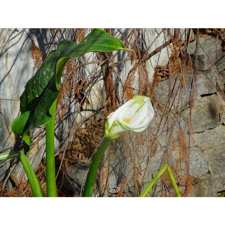 Zantedeschia aethiopica 'White Giant' - giant calla lily