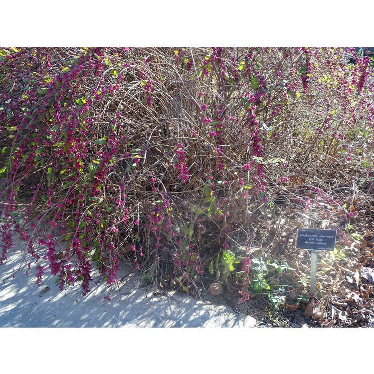 Symphoricarpos ×doorenbosii 'Pink Magic'