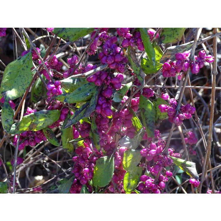 Symphoricarpos ×doorenbosii 'Pink Magic' - Doorenbos coralberry