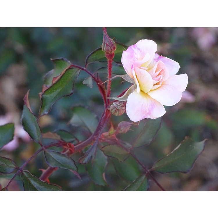 Rosa 'Meiajbeth'
