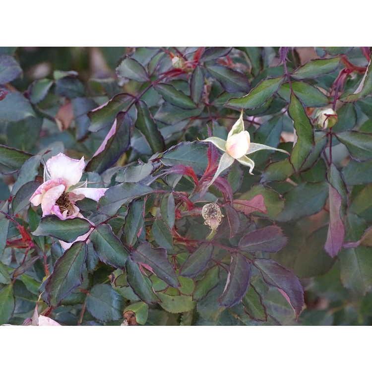 Rosa (Cp023501)