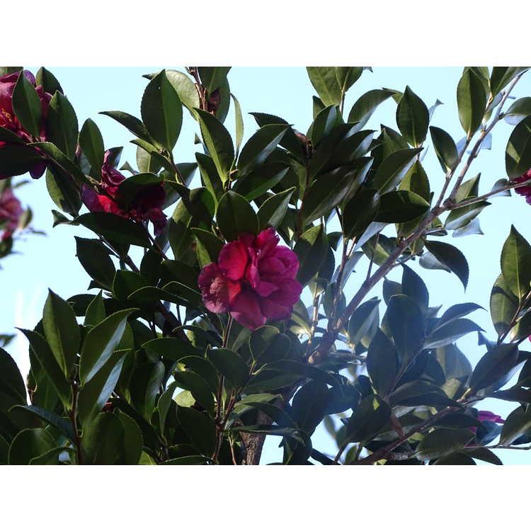 Camellia ×vernalis 'Hiryû'