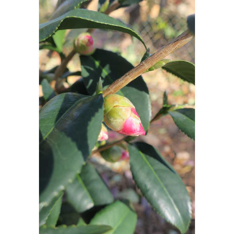 Camellia ×vernalis 'Egao Pink Halo' - vernal camellia