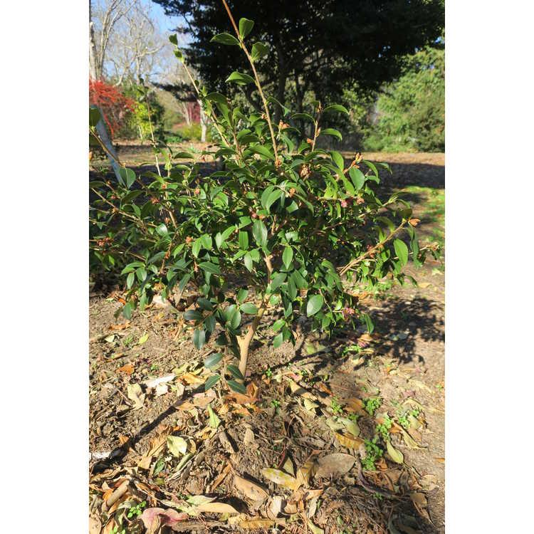 Camellia brevistyla × C. sasanqua 'Green 09-003'
