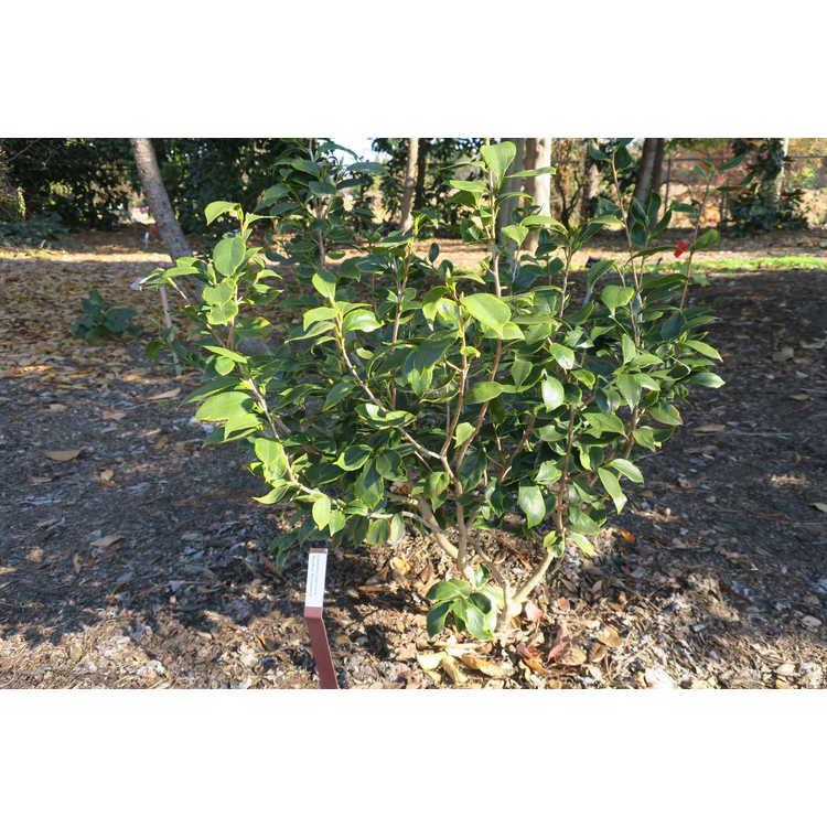 Camellia japonica 'Benten Shiratama'