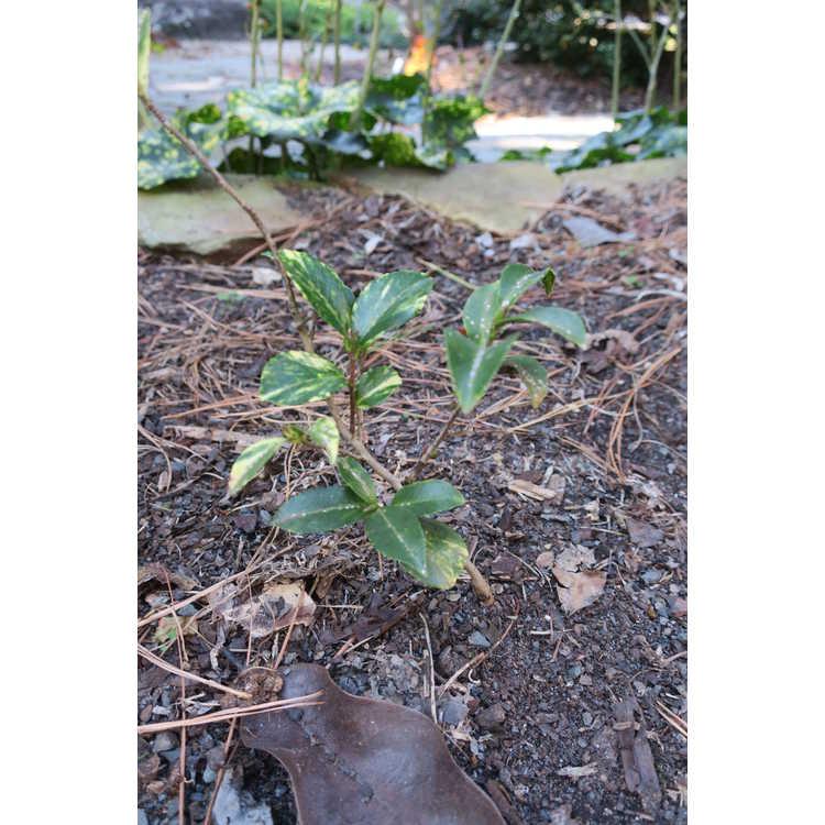 Camellia sasanqua ('Yuletide' variegated sport)