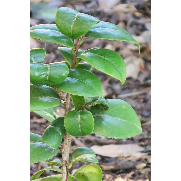 Camellia japonica 'Nishikiba Mangetsu'