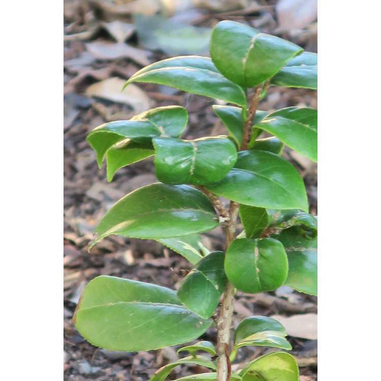 Camellia japonica 'Nishikiba Mangetsu' - full moon variegated Japanese camellia